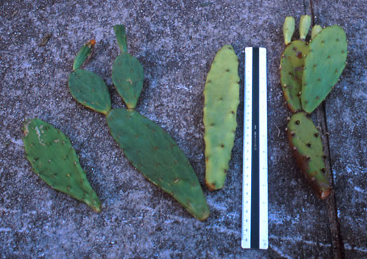 image of Opuntia stricta var. stricta, Coastal Prickly Pear, Shell Midden Prickly-pear, Erect Prickly-pear