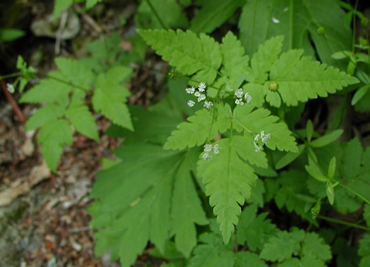 image of Osmorhiza claytonii, Bland Sweet Cicely, Hairy Sweet Cicely