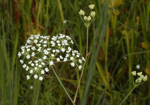 flower of Tiedemannia filiformis ssp. filiformis, Water Dropwort