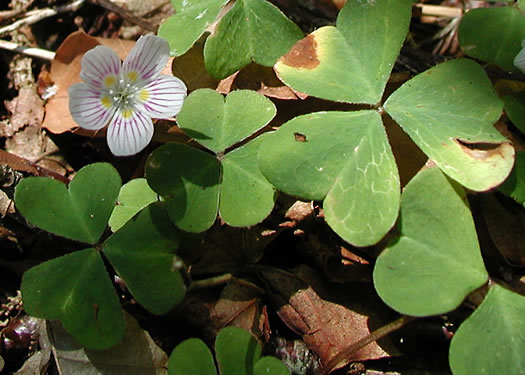 image of Oxalis montana, Mountain Wood-sorrel, American Wood-sorrel, Wood Shamrock, White Wood-sorrel
