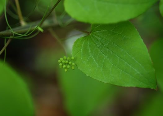 cordate: Smilax lasioneura, Midwestern Carrionflower