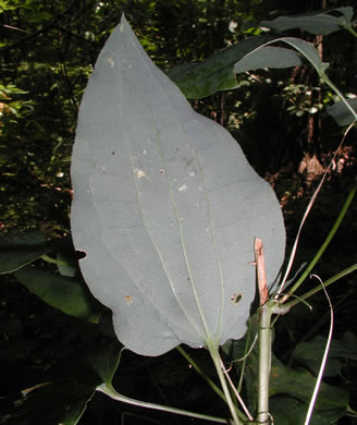 image of Smilax lasioneura, Midwestern Carrionflower