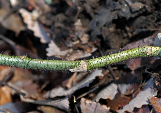 prickles: Smilax hispida, Smilax tamnoides, Smilax hispida