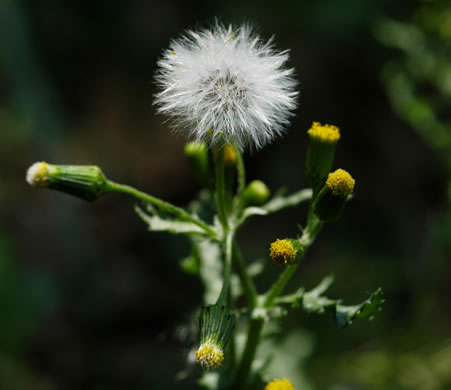 pappus: Senecio vulgaris, Common Groundsel