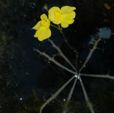 image of Utricularia inflata, Swollen Bladderwort, Inflated Bladderwort, Floating Bladderwort