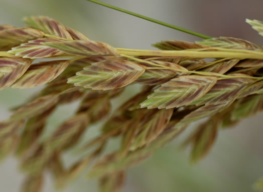 image of Uniola paniculata, Sea Oats