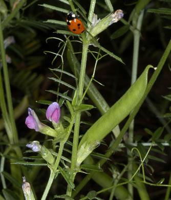 legume: Vicia sativa ssp. nigra, Narrowleaf Vetch
