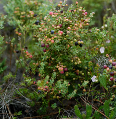 image of Vaccinium darrowii, Darrow's Blueberry