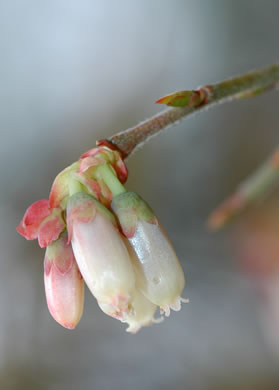image of Vaccinium fuscatum, Hairy Highbush Blueberry, Black Highbush Blueberry