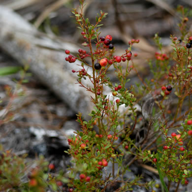 image of Vaccinium myrsinites, Southern Evergreen Blueberry