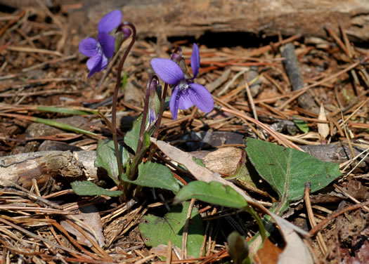 image of Viola sagittata var. sagittata, Arrow-leaved Violet, Arrowhead Violet