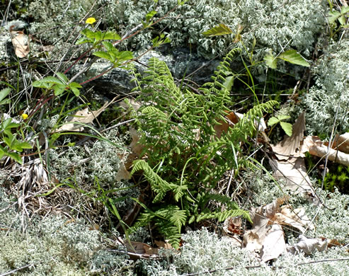 image of Woodsia appalachiana, Appalachian Woodsia, Appalachian Cliff Fern, Mountain Woodsia