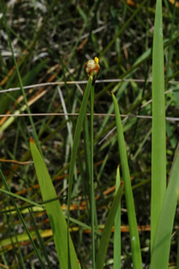 flower of Xyris serotina, acid swamp yellow-eyed grass