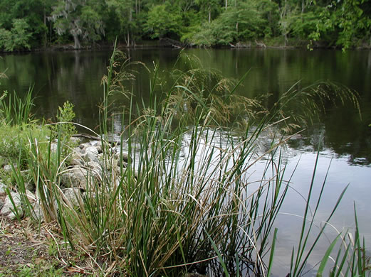 image of Zizaniopsis miliacea, Southern Wild-rice, Water-millet, Giant Cutgrass