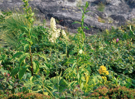 image of Stenanthium leimanthoides, Pinebarrens Death Camas