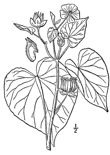 image of Abutilon theophrasti, Velvetleaf, Indian Mallow, Butterprint