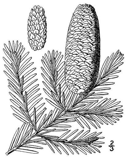 image of Abies balsamea