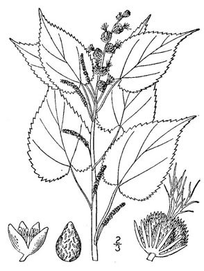 image of Acalypha ostryifolia, Rough-pod Copperleaf, Hophornbeam Copperleaf