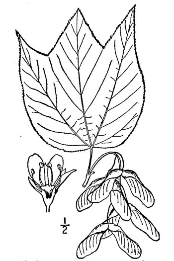 drawing of Acer pensylvanicum, Striped Maple, Moosewood