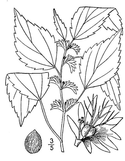 image of Acalypha virginica, Three-seeded Mercury, Virginia Copperleaf, Short-stalked Copperleaf