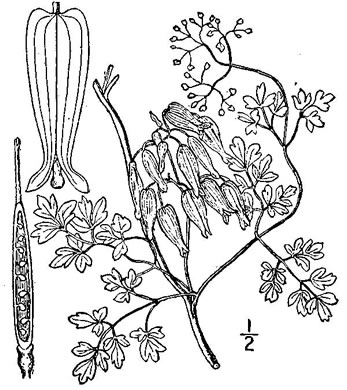 image of Adlumia fungosa, Climbing Fumitory, Allegheny Vine, Cliff-Harlequin