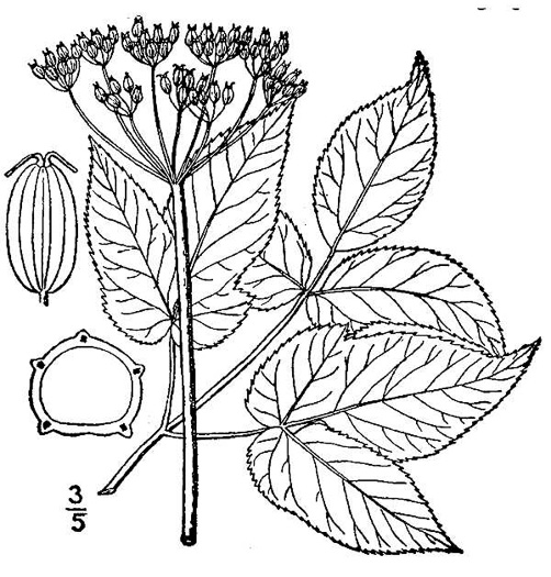 drawing of Aegopodium podagraria, Goutweed, Bishop's Weed