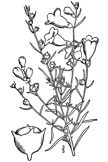 image of Agalinis fasciculata, Gerardia, Beach False Foxglove