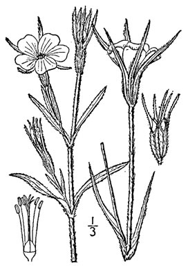 drawing of Agrostemma githago var. githago, Corncockle, Purple Cockle, Corn-campion