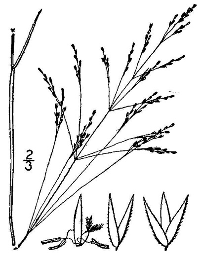 image of Agrostis hyemalis, Ticklegrass, Small Bentgrass, Hairgrass, Winter Bentgrass
