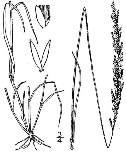 image of Agrostis stolonifera, Creeping Bentgrass