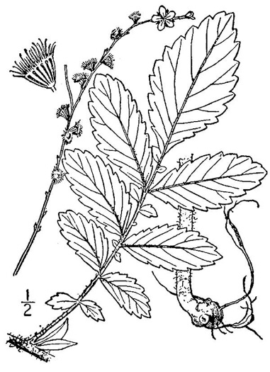 image of Agrimonia pubescens, Downy Agrimony