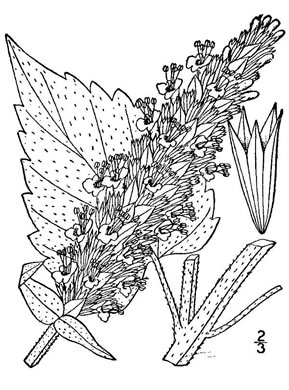 image of Agastache scrophulariifolia, Purple Giant-hyssop