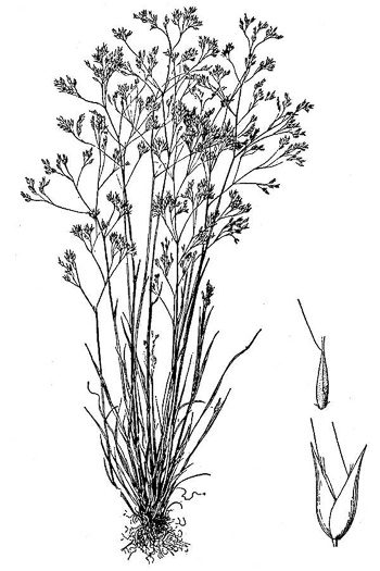 image of Aira caryophyllea, Silver Hairgrass