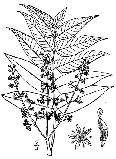 image of Ailanthus altissima, Ailanthus, Tree-of-heaven