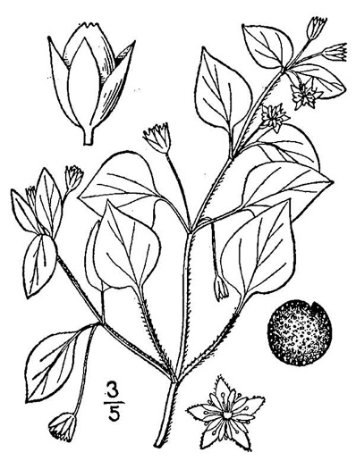 drawing of Stellaria media, Common Chickweed