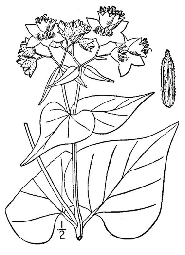 picture of Mirabilis nyctaginea, image of Mirabilis nyctaginea