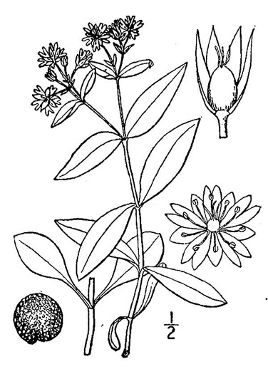 drawing of Stellaria pubera, Giant Chickweed, Star Chickweed, Great Chickweed, Common Starwort