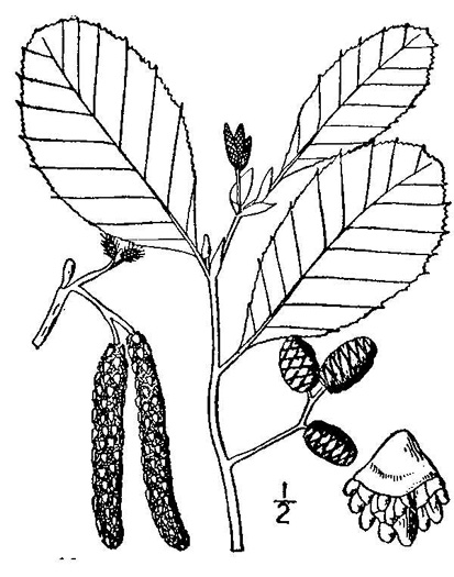 image of Alnus incana ssp. rugosa, Speckled Alder