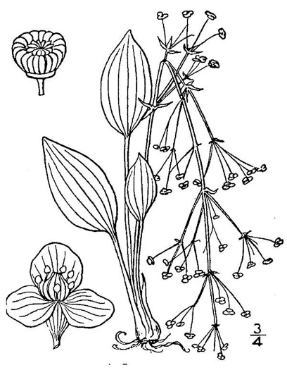 image of Alisma subcordatum, Southern Water-plantain, American Water-plantain