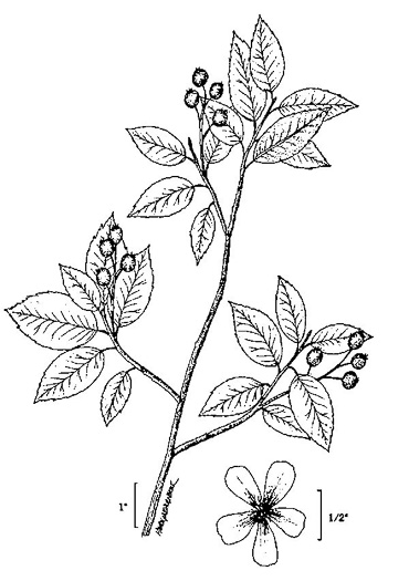 image of Amelanchier canadensis, Eastern Serviceberry, Canadian Serviceberry