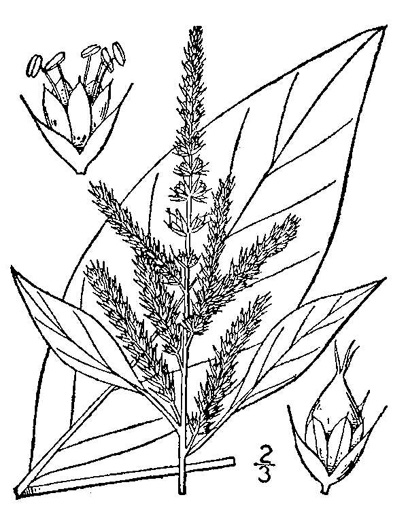 image of Amaranthus hybridus, Smooth Pigweed, Smooth Amaranth, Green Amaranth, Hybrid Amaranth