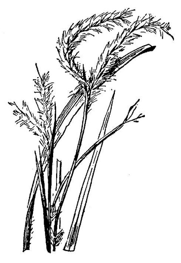 image of Andropogon floridanus, Florida Bluestem
