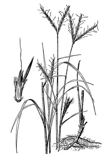 picture of Andropogon gerardii, image of Andropogon gerardii