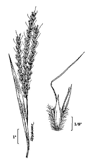 image of Andropogon gerardii, Big Bluestem, Turkeyfoot