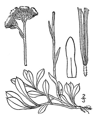 image of Antennaria howellii ssp. neodioica, Pussytoes