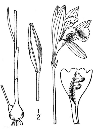drawing of Arethusa bulbosa, Bog-rose, Dragon's-mouth, Arethusa