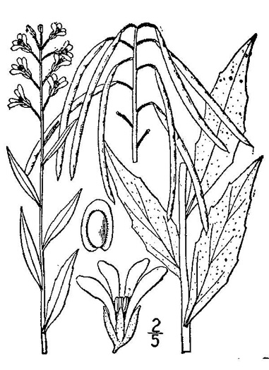 picture of Arabis canadensis, image of Boechera canadensis