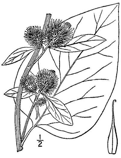 image of Arctium lappa, Great Burdock