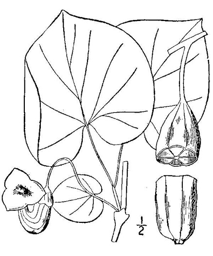 drawing of Isotrema macrophyllum, Dutchman's Pipe, Pipevine