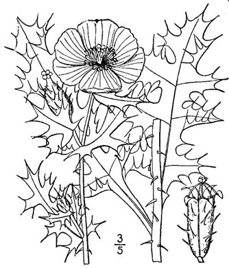 image of Argemone mexicana, Mexican Prickly-poppy, Mexican Poppy
